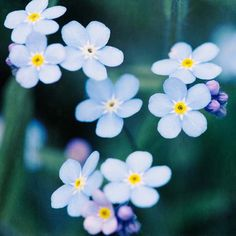 forget me not flower photography print