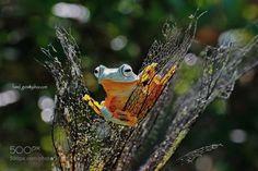 Flying frog by BennyGunawanS #animals #animal #pet #pets #animales #animallovers #photooftheday #amazing #picoftheday