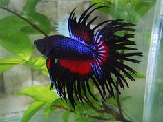 Black red and blue crowntail
