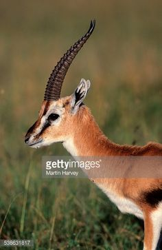 The Thomsons Gazelle is the best-known and commonest gazelle in East. Thomson Gazelle, African Antelope, Deer Photos, Animals Beautiful, Adorable Animals, Deer Family, Lion Profile, Mammals, Stock Photos