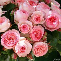 Résultats Google Recherche d'images correspondant à http://www.garten-schlueter.de/images/popup_images/rose-mini-eden-rose.jpg