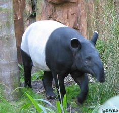 Tapir in The Oasis in Disney's Animal Kingdom, Walt Disney World, Florida
