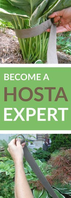 How to become a Hosta expert.