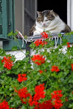 So Cute! (Chubby Kitty with red geraniums! Funny Cats, Funny Animals, Cute Animals, Fat Cats, Cats And Kittens, Fat Kitty, Derpy Cats, Crazy Cat Lady, Crazy Cats