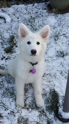 This is Luna a 12 week old White German Shepard with some snow on her Snoot :) Cute Animal Pictures, Dog Pictures, Cute Baby Animals, Animals And Pets, German Shepherd Puppies, German Shepherds, White Husky, Cute Dogs And Puppies, Doggies