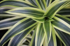 Pleomele Song of India is a gorgeous tropical plant.