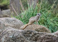 The Meerkats are a family favorite at the Werribee Zoo, located right need the cafe (aptly named Meerkat Cafe).