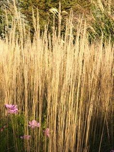 Feathers ranges and grasses on pinterest for Ornamental grass that looks like wheat