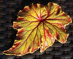 Raspberry Swirl Begonia leaf casting with FREE display stand. $14.00, via Etsy.