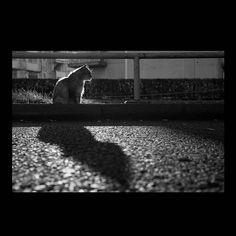 https://flic.kr/p/A9b4md | Yama_cyan November 2015  #cat #photograph #blackandwhitephotography