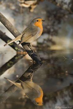 European Robin (Erithacus rubecula) by Enzo Cornaglia on Flickr
