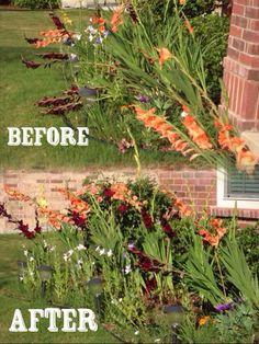 Gladiolus Staking Ideas Onlineplantguide Com Garden