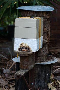 Soft split of Australian native stingless bee hive.