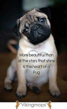 Sweet Truth |Pugs cutest|