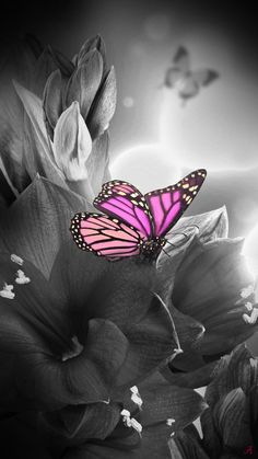 Splash of Colour Black And White Colour, Black And White Pictures, White Art, Pink Photography, Splash Photography, Purple Butterfly, Butterfly Art, Beautiful Butterflies, Beautiful Roses