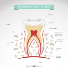 """Your tooth is not """"just a tooth"""" - it's a living system in of itself with a protective enamel shell, the dentin - which is a mineral-rich layer that encloses the pulp, and then the extensive root system that houses the nerves, capillaries, and various other structures.  Things can go wrong at any part of each tooth, so it's important to make regular follow-ups a priority.  Losing a tooth can result in bigger problems, like the deterioration of your of jaw bone, which can lead to more teeth…"""