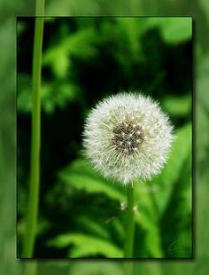 Title:  Dandelion  Artist:  Chris Thomas  Medium:  Photograph - Photograph/digital Art
