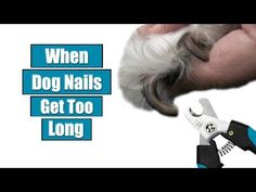 Getting started with cutting dog nails isn't as simple. So, how can we learn to trim overgrown nails in an effective, safe manner? Clipping Dog Nails, Trimming Dog Nails, Meds For Dogs, Medication For Dogs, Dog Nail Clippers, Trim Nails, Daschund, Dog Accessories, Dog Care