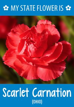 #Ohio's state flower is the Scarlet Carnation. What's your state flower? http://pinterest.com/hometalk/hometalk-state-flowers/