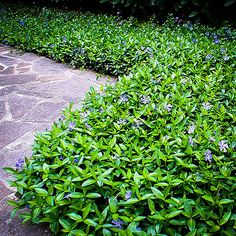 "Modern Gardening Vinca Minor ""Bowles"" Periwinkle Plants For Sale Periwinkle Plant, Tall Plants, Shade Plants, Indoor Plants, Shade Perennials, Flowering Plants, Front Yard Landscaping, Backyard Landscaping, Plants"