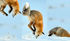 Wonder if there's anything in the freezer... Amazing moment fox nose-dives into snow while hunting for mice