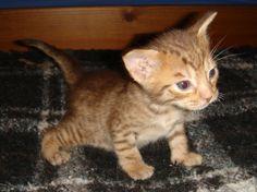 Chocolate Ocicat boy 3 weeks old  Vervain Cats  #kittens  #ocicat  www.vervain-cats.co.uk