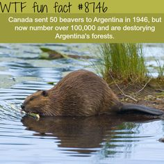 Beavers are ruining Argentina's forests - WTF fun facts What The Fact, Fact Of The Day, Wtf Fun Facts, Funny Facts, Weird But True, Fun Card Games, Interesting Information, Interesting Facts, Tiny Puppies