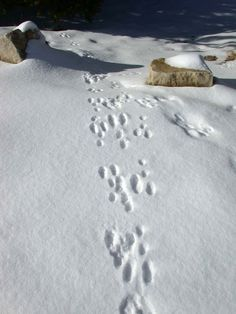 Cottontail Rabbit Tracks Near Plug Hat