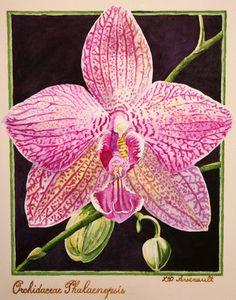 Orchidaceae_Phalaenopsis.JPG 1,581×2,016 pixels