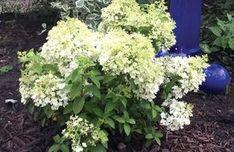 Guide to Hydrangea paniculata Bobo®  En nyhet inom de lägre hortensiorna, h=1 m   b=1 m
