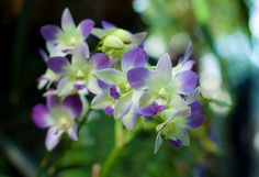 Orchid Mania: This Side of Paradise