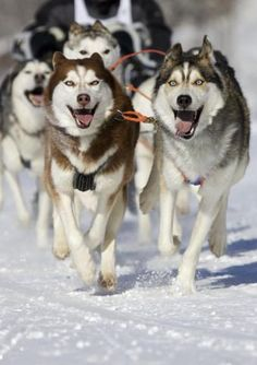 PetsLady's Pick: Awesome Iditarod Dogs Of The Day...see more at PetsLady.com -The FUN site for Animal Lovers