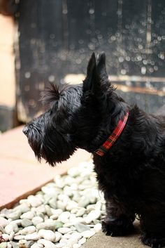 Looks like our Molly! Christine Christine Jones and Hui Chan Hui Chan Garrison Jones I Love Dogs, Cute Dogs, Cairn Terrier, Scottish Terriers, Westies, Little Dogs, Beautiful Dogs, Mans Best Friend, Dogs And Puppies