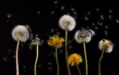 Most of us grew up spraying or pulling dandelions out of our yard! DON'T DO THAT, they are important for the bumble bees and can benefit your health!!!!! #organic #gardens have #dandelions