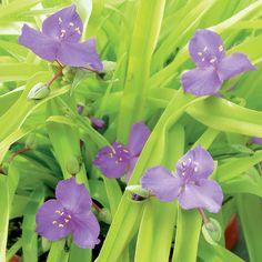 Spiderwort  Sweet Kate  Tradescantia  Exposure  Part Sun to Sun  Season  Spring  Summer  Mature Size  12 Inches