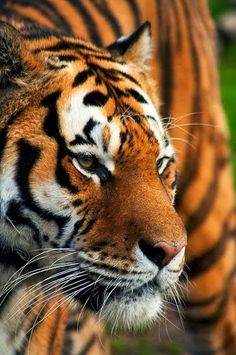 ☺♥☼ #tiger