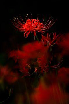 曼珠沙華(彼岸花)は最も好きな花ですが、薄暗いところで見かけると、ちょっと不気味に思えるときがあります。