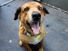 "TO BE DESTROYED - TUESDAY - 9/02/14 Manhattan Center RUSTY ID # is A1010167. I am a neutered male brown and cream golden retr and chow chow mix. About 3 YEARS old. I came in the shelter as a STRAY on 08/11/2014 AT RISK RUSTY!!!! ~Calm ~Gentle ~Happy ~Affectionate~ Will need some training on resource guarding & doggy socializing - both doable! ~ If you are in need of a new friend to cuddle with for hours, Rusty is your boy. ""Let him bring some calm and comfort into your life."""