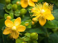 Check out our St. John's Wort Plants, space-saving shrubs that are perfect for tight spaces. They erupt with hundreds of vibrant yellow flowers! St Johns Wort Plant, Lagerstroemia, Small Shrubs, Fast Growing Trees, Ground Cover Plants, Chaenomeles, Flowering Shrubs, Plantation, Plant Care