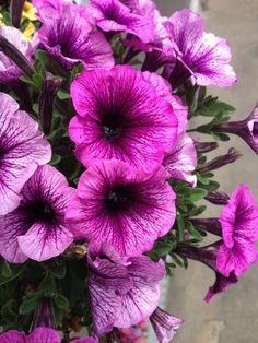 Így gondozzuk a petúniát hogy egész nyáron virágozzon!