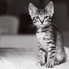Portrait einer kleinen Katze. Bei Tierfotos sollte immer auch der Hintergrund im Auge behalten werden. Tiefenschärfe und der passende Bildausschnitt machen das Foto vom kleinen, tierischen Liebling erst so richtig perfekt. #kätzchen #tierfotografie #fototipps. Fotos fuers Leben gibt euch einige Hinweise: http://www.fotos-fuers-leben.ch/fotokurs/naturfotografie/tiere-fotografieren/