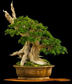 ~ Great Bonsai ~ Brazilian Rain tree – Pithecellobium tortum