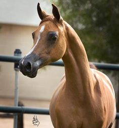 Arabian horses are famous for sleek and slender bodies and very small mouths