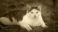Portrait in b&w - Our sweet neighbor's cat! We are alway happy about her visit! Thank you all for watching and voting! Many regards...