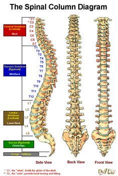 Our Spinal Column Anatomy Bones, Yoga Anatomy, Human Spine, Human Body, Human Skeleton Anatomy, Spine Health, Human Anatomy And Physiology, Medical Anatomy, Muscle Anatomy