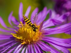 Hoverfly Collecting Nectar From An Aster Flower by Moneycue