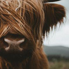 Scottish Highland Cattle Coffee Mug by Michael Schauer - 15 oz Scottish Highland Cow, Highland Cattle, Scottish Highlands, Cow Photos, Fluffy Cows, Baby Cows, Cute Cows, Bison, Farm Life