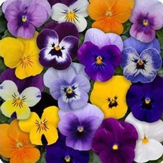 Free Shipping on orders over $35. Buy Viola Flower Garden Seeds - Sorbet F1 Series - Mix - 100 Seeds - Annual Flower Gardening Seeds at Walmart.com