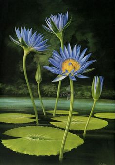 Nymphaea capensis by Paul Jones : print measures approximately 14 1/2 inches by 20 3/4 inches. Flora Magnifica and Flora Superba botanical prints.
