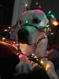 My Christmas pup  #merrychristmas #americanbulldog #pitbullmix #stringlights